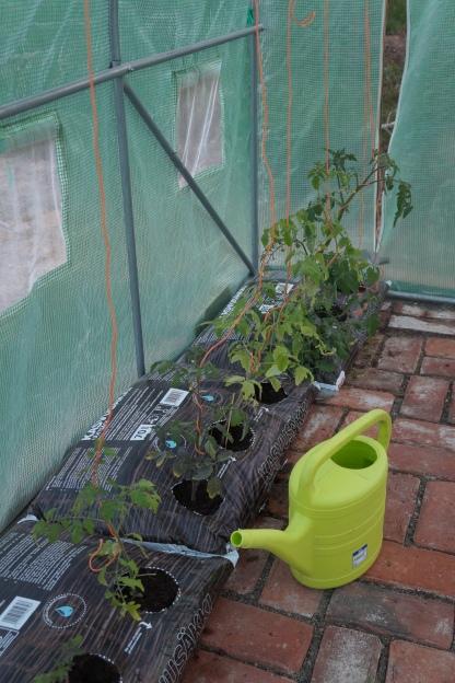 Kasvihuoneen tomaatit