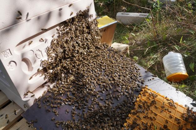 Mehiläisiä marssimassa